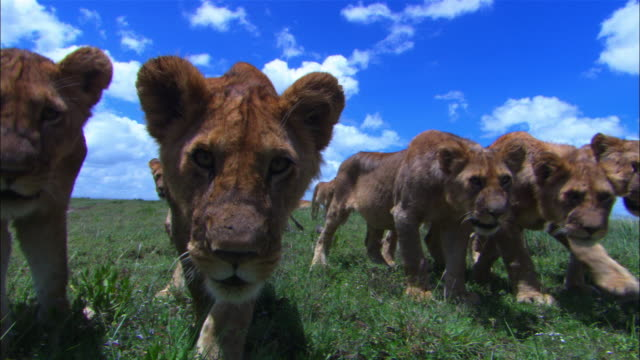 Group of young African lion cubs walk up very close to camera and look intently into lens filling frame