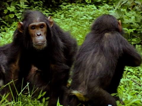 vídeos y material grabado en eventos de stock de ms, group of young chimpanzees (pan troglodytes) playing, gombe stream national park, tanzania - parque nacional de gombe stream