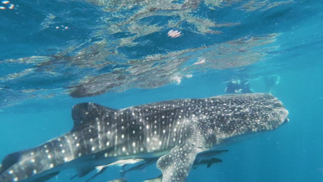 group of young eco tourists swimming with endangered species whale shark (rhincodon typus) in the sea - andaman sea stock videos & royalty-free footage