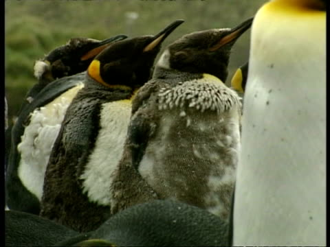 ms group of young king penguins, aptenodytes patagonicus, during moulting phase, antarctica - south pole stock videos & royalty-free footage