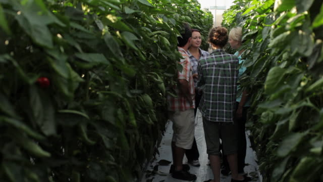 ws ds group of young pepper pickers talking in green house / perth, australia - greenhouse stock videos & royalty-free footage