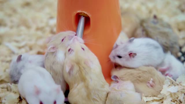 group of young thirsty hamster mouses white brown and black color scramble drinking water and eating together in a pet shop. - living organism stock videos & royalty-free footage