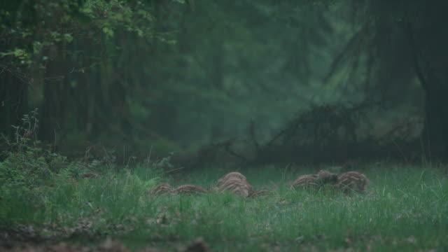 森林草原の若いイノシシの群れ - シュバルツバルト点の映像素材/bロール