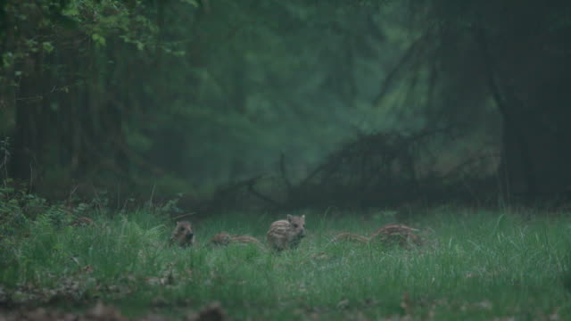 group of young wild boars in a forest meadow - boar stock videos & royalty-free footage