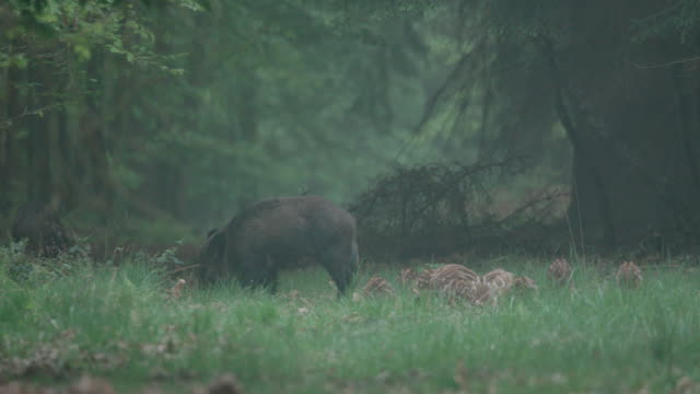group of young wild boars in a forest meadow - animals in the wild stock videos & royalty-free footage