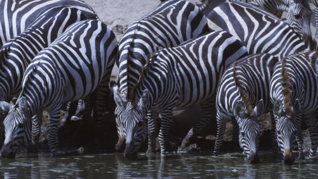 group of zebra drink from river facing camera and jostle nervously - シマウマ点の映像素材/bロール