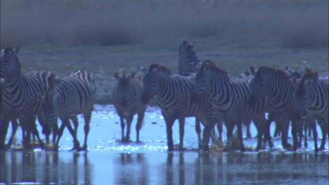Group of zebra in waterhole with mirror reflection from water