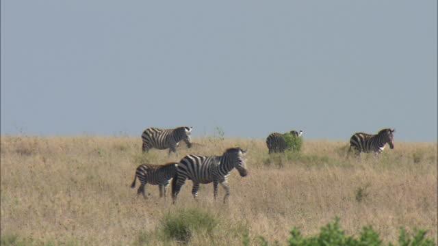 a group of zebra walking on the field at serengeti national park, tanzania - zebra stock-videos und b-roll-filmmaterial