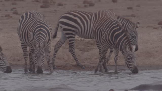 vidéos et rushes de group of zebras / africa - plaque de montage fixe