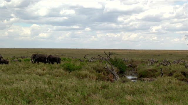 group of zebras and elephants in  serengeti n.p. in tanzania. - herbivorous stock videos & royalty-free footage