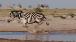 Group of Zebras at a waterhole on the Makgadikgadi Pans
