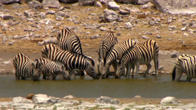 vídeos de stock e filmes b-roll de group of zebras drinking from a waterhole/ entabeni private game reserve/ south africa - grupo médio de animais