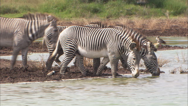 MS, Group of zebras drinking from waterhole, Africa