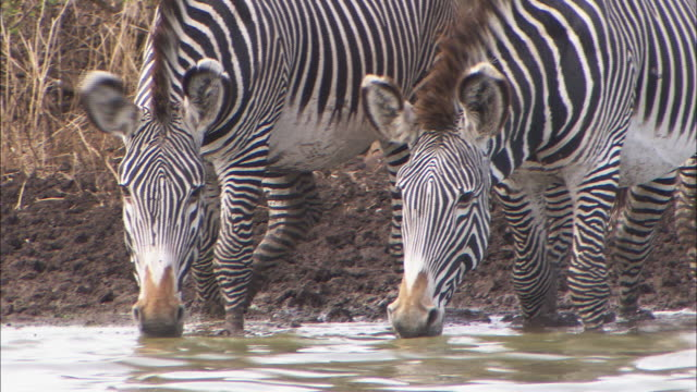 CU, PAN, Group of zebras drinking from waterhole, Africa