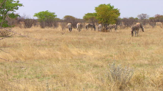 ws group of zebras eating grass / limpopo, south africa - medium group of animals stock videos & royalty-free footage
