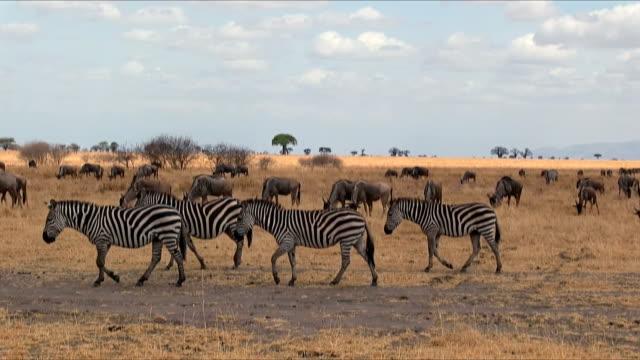 group of zebras in tarangire national park / tanzania. - zebra print stock videos & royalty-free footage
