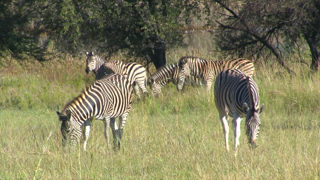 MS Group of zebra's in veld eating grass at Entabeni Private Game Reserve / Limpopo, South Africa