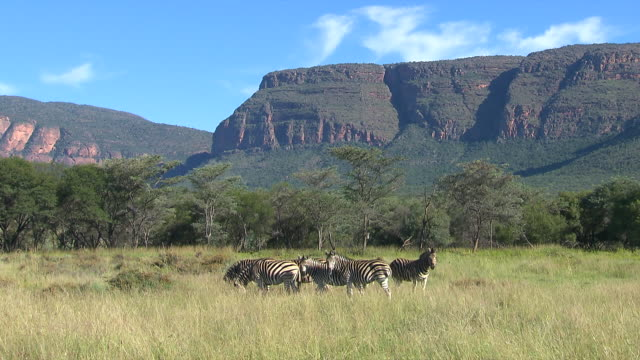 WS Group of zebra's in veld eating grass at Entabeni Private Game Reserve / Limpopo, South Africa