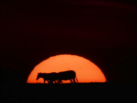 vídeos de stock e filmes b-roll de silhouette group of zebras walk in front of giant setting sun / africa - cinematografia