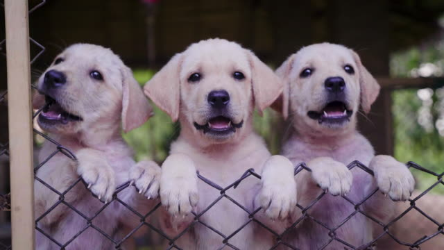 stockvideo's en b-roll-footage met groep portret van cute yellow retriever labrador puppies in een hond kennel - drie dieren
