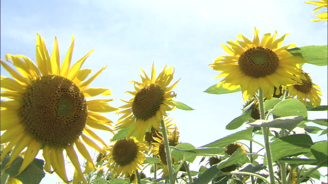 group shot of sunflowers - sunflower stock videos and b-roll footage