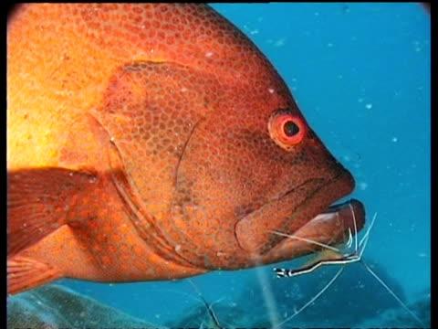 vídeos de stock e filmes b-roll de grouper and cleaner shrimps, cu fish eye, mabul, borneo, malaysia - cabeça de animal