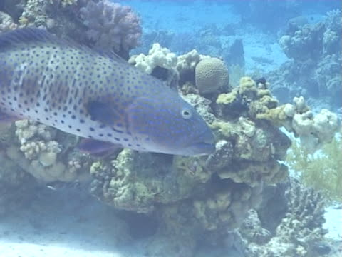 grouper cu as cruises around reef - invertebrate stock videos & royalty-free footage