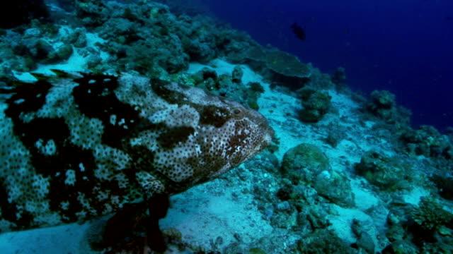 白身魚と tiriggerfish - ヒート点の映像素材/bロール