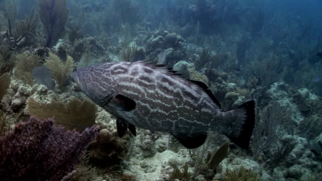 grouper fish and tiriggerfish - grouper stock videos & royalty-free footage