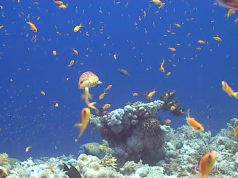 Grouper on reef covered in fish