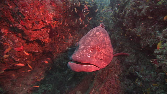 a grouper rests in a coral reef while a shoal of small fish swim around it. available in hd. - ugliness stock videos and b-roll footage