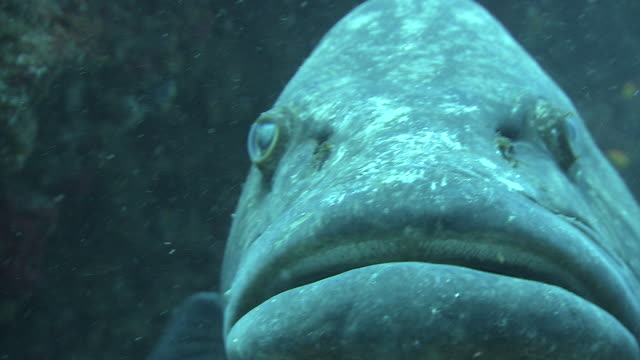 a grouper rests near a coral reef. available in hd. - grouper stock videos & royalty-free footage