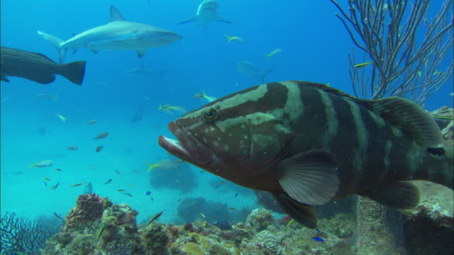 Grouper, Serranidae, over reef, Bahamas