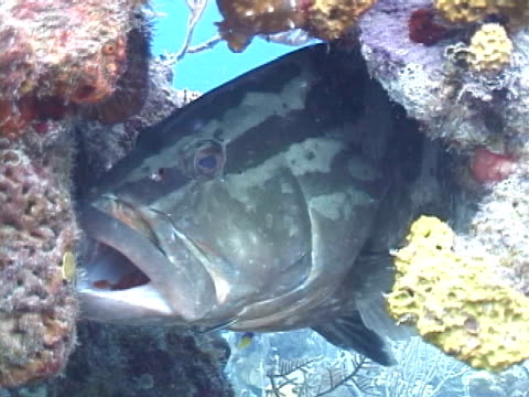grouper species in cleaning station  - small stock videos & royalty-free footage