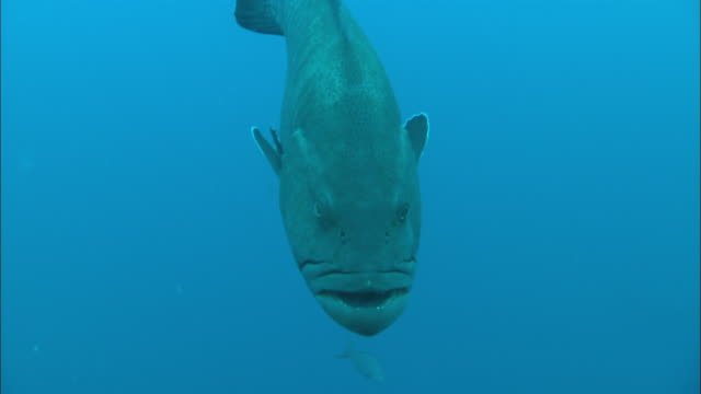 grouper, swimming, close up. costa rica, pacific ocean  - grouper stock videos & royalty-free footage