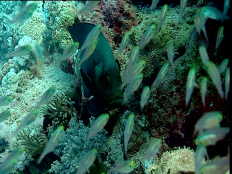 Grouper watches shoal of glassfish, Red Sea