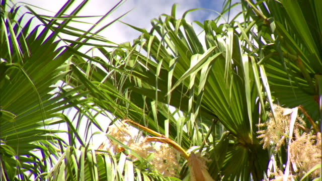 Grouping of Cabbage palm fronds moving in light wind