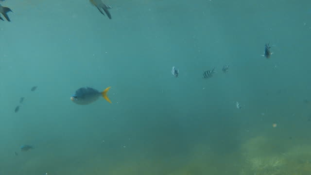 Groups of yellowfin fish