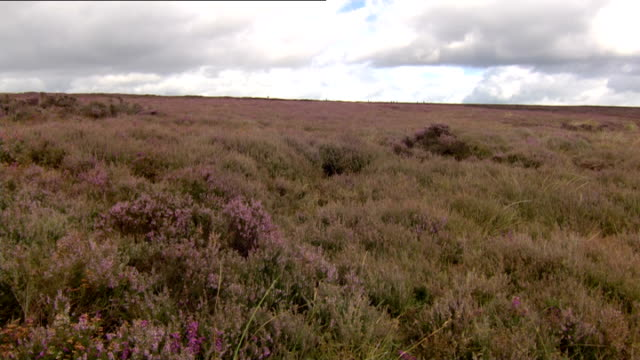 grouse hunting on the yorkshire moors; england: yorkshire: lastingham and hutton-le-hole: ext various of grouse shooters and gun dogs walking across... - 鳥を狩る点の映像素材/bロール