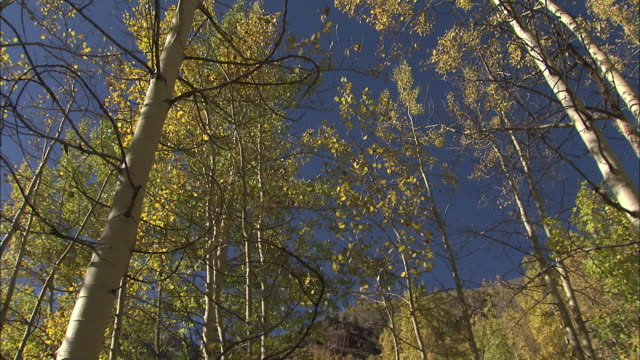 A grove of Aspen trees rises in to a clear blue sky.