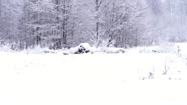 grove under the snow - alder tree stock videos & royalty-free footage