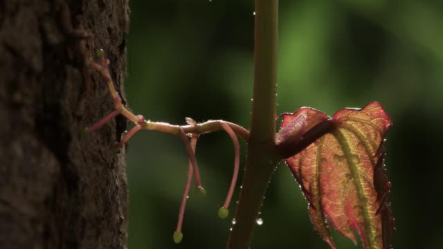 tl growing boston ivy clings to tree trunk, uk - つる草点の映像素材/bロール