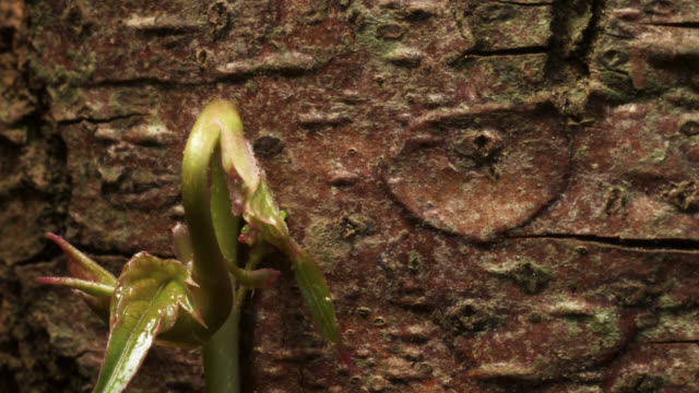 tl growing boston ivy clings to tree trunk, uk - brown stock videos & royalty-free footage