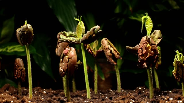 Growing cocoa seedlings (theobroma cacao), slow timelapse dolly shot, studio, closeup