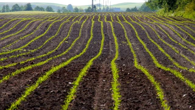 Croissance des germes de maïs maïs Jeune pousse dans champ agricole cultivé Farm
