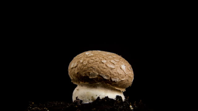 Growing mushroom, time lapse.