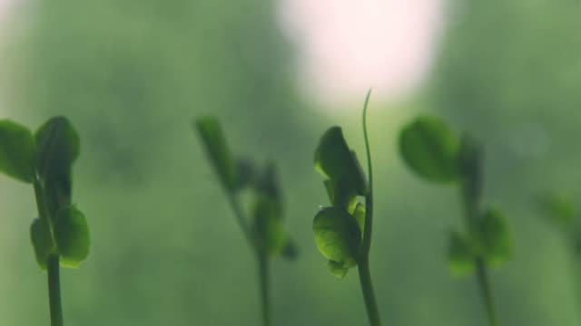 growing of sprout of peas - growth stock videos & royalty-free footage