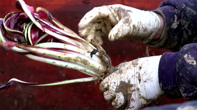 Growing red chicory (radicchio rosso), farmer cleaning the chicory, Italy, Treviso