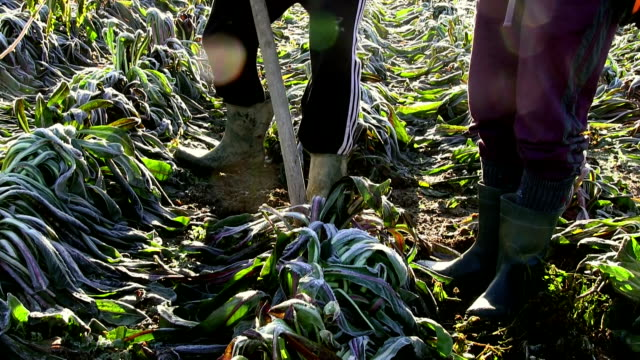 growing red chicory (radicchio rosso), farmers extracting chicory from a field in icy winter, italy, treviso - rosso stock videos & royalty-free footage