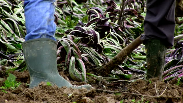 growing red chicory (radicchio rosso), farmers extracting chicory from a field in winter, italy, treviso - wellington boot stock videos & royalty-free footage